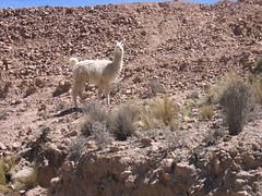 Llama in Potosi