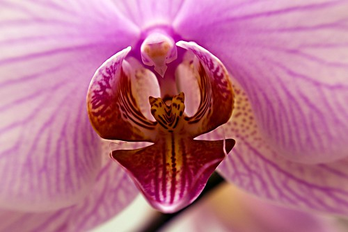 Orchid Detail I