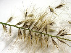 Ornamental Grass Seeds