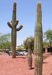 Papago Park Saguaro