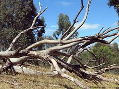 dead tree reclining