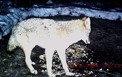 Coyote 01.12.2052