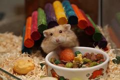 Hamsters' Birthday photo by captainmcdan