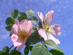 Rosa canina (Dog rose) photo by Luigi Strano