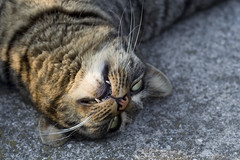 Vampire Cat photo by kaibara87