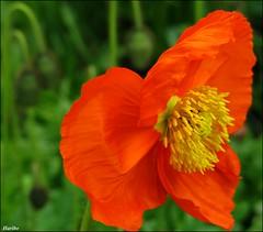 The Bokeh Poppy photo by ☜✿☞ Bo ☜✿☞