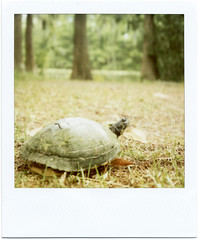 Polaroid: Turtle photo by analogophile