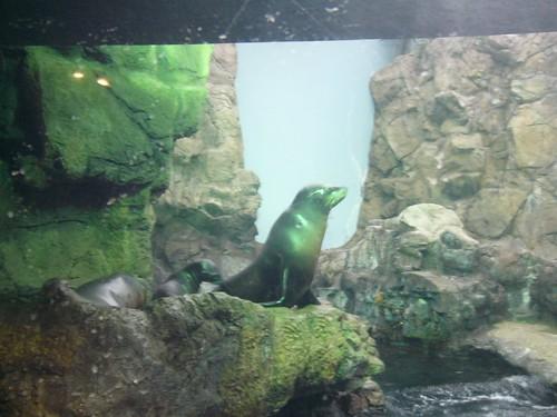 Kaiyukan: Sea lions