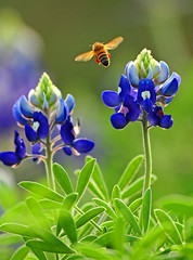 Bluebonnet Forest photo by Shadow Hunter