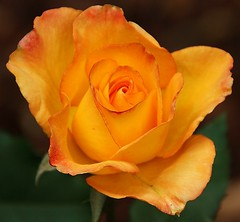 Today's New Yellow Rose Full Face View photo by 114berg
