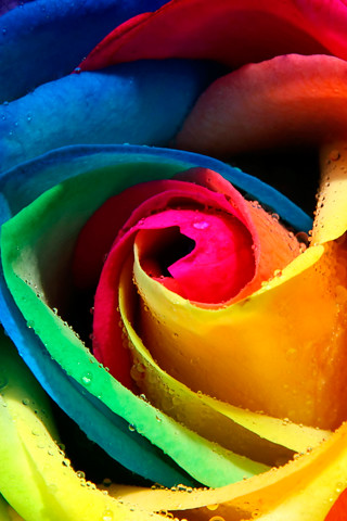 Rainbow Rose iphone wallpaper