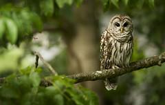 Barred Owl 2 photo by strobist