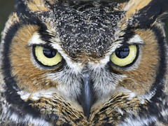 Great-horned Owl  (Bubo virginianus) Up Close photo by johndykstraphotography