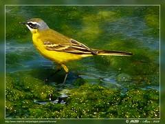 Oiseau  jaune... Yellow bird ... Gelb vogel .... Amarillo ave... gele vogel photo by Rached MILADI -رشاد الميلادي