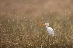 Cattle Egret photo by www.studebakerstudio.com