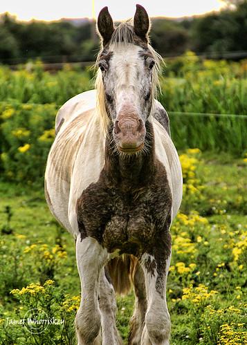 Worlds Ugliest Horse Ugliest horse ever