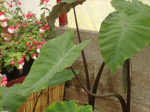 COLOCASIA POURPRE
