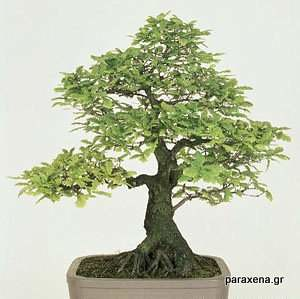bonsai-trees-27