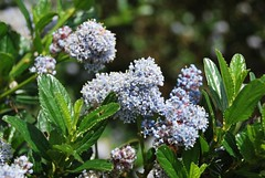 3c. Ceanothus (Native) Photo