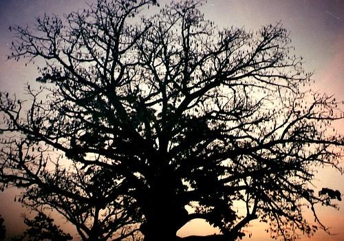 País Lobi (Burkina Fasso), silueta de baobab