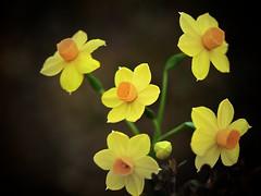 Daffodil photo by Jonathan Payne