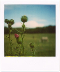 Polaroid: Thistle photo by analogophile