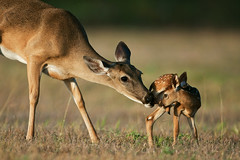 Doting Doe photo by Seth Patterson