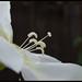 Ipomoea alba - לפופית לבנה