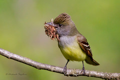 _53F6164 Great Crested Flycatcher photo by ~ Michaela Sagatova ~