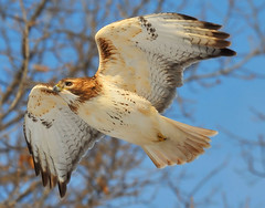 The Hawk!! photo by JRIDLEY1
