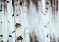 Birch trees again photo by Fiona * lunasdal