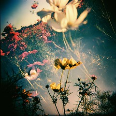 My Cosmos.花 漾 photo by Fabienne Lin