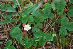 3d. Wild Strawberry Photo