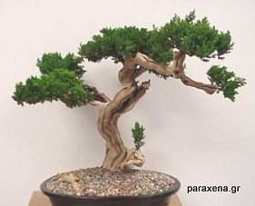 bonsai-trees-29