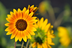 By the Light of Sunset Sunflowers photo by Fort Photo