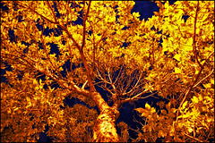 gold tree photo by Dan Anderson.