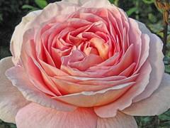 Full Bloom Abraham Darby Austin Rose photo by beachglassfan