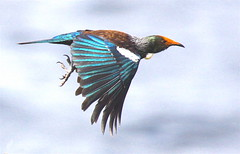 Tui in Flight photo by Birds of the South