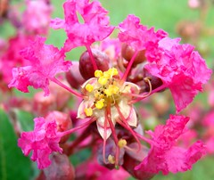 Crepe myrtle flower structure photo by Martin LaBar