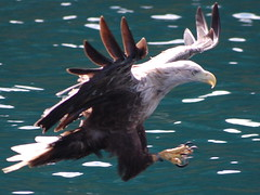 Wild Sea Eagle hunting of Isle of Skye photo by Englishpointers (Hate Sleep Apneoa)