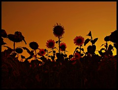 Sunflowers in Orange Sky ;P photo by JoannaRB2009