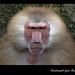 Hamadryas Baboon - Singapore Zoo