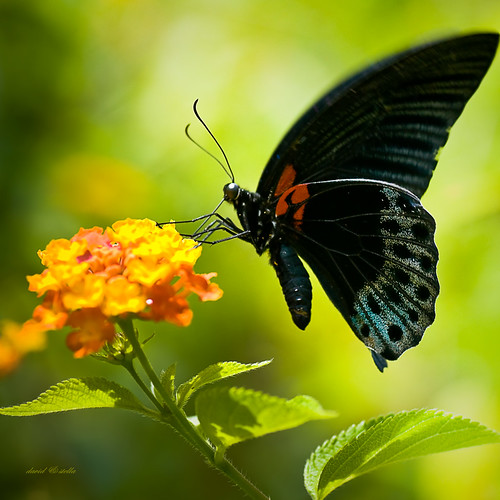 Great Mormon Swallowtail