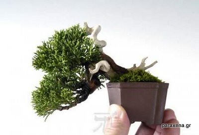 bonsai-trees-03