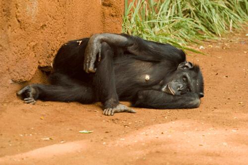 chimp.gif