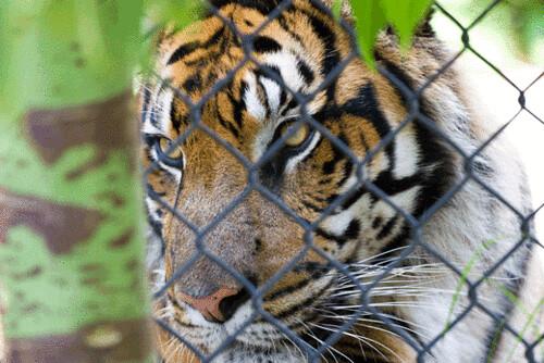 tiger.gif