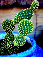 Opuntia Cactus (Opuntia microdasys) photo by [JP] Corrêa Carvalho - يوحنا بولس
