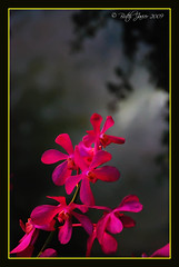 Thai Orchid photo by Butch Javier  NAUI#48102