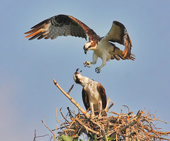 osprey spat photo by michaelrosenbaum