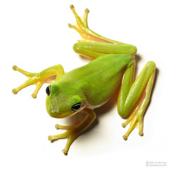 Tree Frog photo by jciv